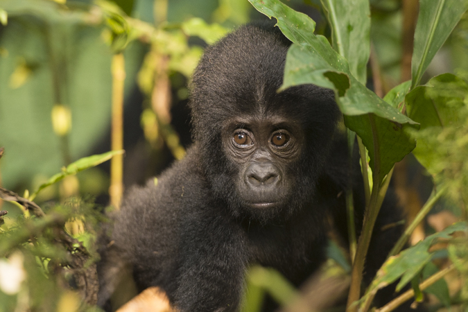 Mountain gorilla holiday Uganda