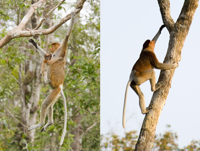 Proboscis monkey photos