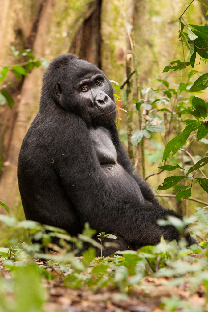 Mountain gorilla numbers